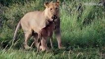 То, что сделал лев, когда погнался за своей добычей и настиг её! Это перевернуло мой мир...