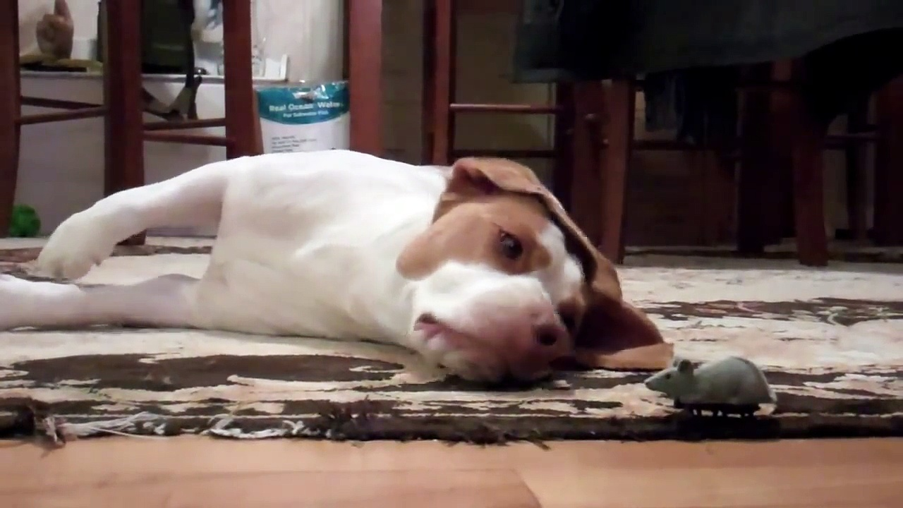 Dog Loves Toy Mouse   Cute Dog Maymo