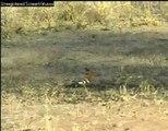 WildEarth/Djuma African Hoopoe 8-29-07
