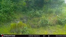 WILDVEIW AUG 20 15 10:00am beautiful Young Northern Canadian Black Bear