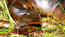 Have you ever seen them  Giant Snakes in the world - Giant Anaconda, Python, Titanoboa