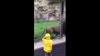 Lion Attack on little boy Viral Videos  20`16