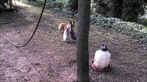 Petit chien VS Canards... C'est pas gagné!