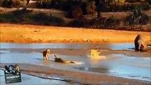 Crocodile Kills Lion - Crocodile vs Lion -Amazing Big Battle Animals Real Fight HD