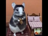 Young Chinchilla Relaxes While Holding Teddy Bear