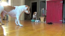 Dog vs. Robot Spider  Cute Dog Maymo