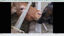 Cool nature: Cow licks
