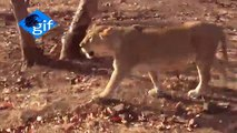 The India's Gir forest is known all over the world as the last home of the Rare Asiatic lions
