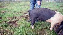 Une astuce qui permet de redresser la queue d'un cochon