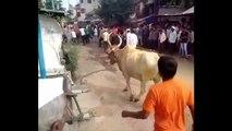 Le saut incroyable d'un taureau qui passe au-dessus d'un homme