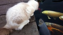 This Cat Really Wants A Kiss From The Koi Fish. Watch What Happens When He Leans In!