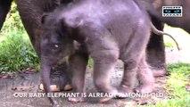 Le bain d'un bébé Elephant au milieu des siens.. Trop mignon