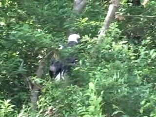 Bald Eagle Mates at Spanish Banks nest site