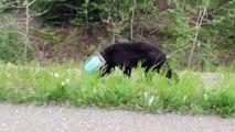 Un ours la tête coincée dans le bidon de café sauvé par des biologistes
