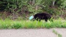 Sauvetage d'un ours avec la tête bloquée dans une boite !