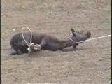 les rodéo(je suis écoeuré il ne les tue pas mais il sont si cruelle avc ces animaux...)