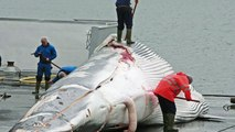 Japanese Whaling - Project Stop Whaling Now! - Japanese Whaling