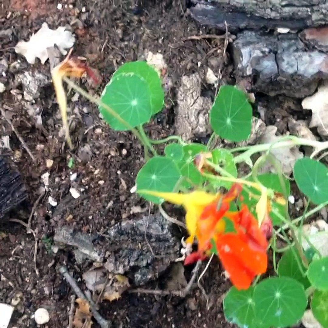 Comment Planter Les Graines De Persil comment récuperer des graines de capucine phoenix