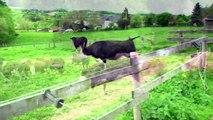 Enfermées durant toute leur vie, admirez la réaction de ces vaches qui voient du gazon pour la première fois!