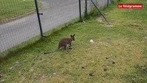 Saint-Agathon (22). Interview exclusive du bébé wallaby, star de la Résidence Beau-Chêne