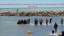 Saintes-Maries de la Mer-Un taureau sauvé des eaux-Vache plage-fete votive-2016/06/19
