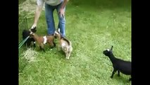 Cabras Locas y Divertidas   Crazy and funny goats