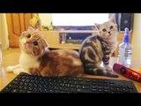 반전 스릴러 고양이들 suspence cats [Suri&Noel cat story -EP22] Scottish fold
