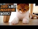 레이저 포인트를 잡고 싶은 고양이 노을이 Cute cat Chasing Laser Pointer [SURI&NOEL수리노을]