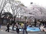 櫻花@上野公園, sakura @ ueno park