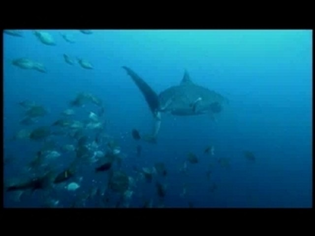 Tiger Shark Destroys Turtle: Shark Week '07