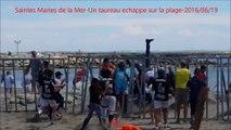 Saintes Maries de la Mer-Un taureau echappe sur la plage-fete votive-2016/06/19