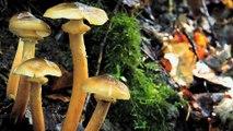Les champignons  guérisseurs
