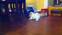 Teacup Shih tzu Puppies Cute shihtzu pups playing cutiest baby pet puppy compilation