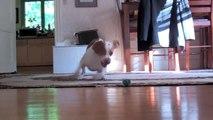 Puppy vs. Robot Crab  Cute Dog Maymo