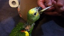 baby blue fronted amazon feeding time