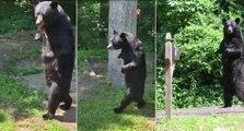 Il filme un ours qui marche comme un humain debout sur ses pattes arrières