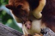Mian, le bébé kangourou arboricole du Zoo de Perth (Australie)