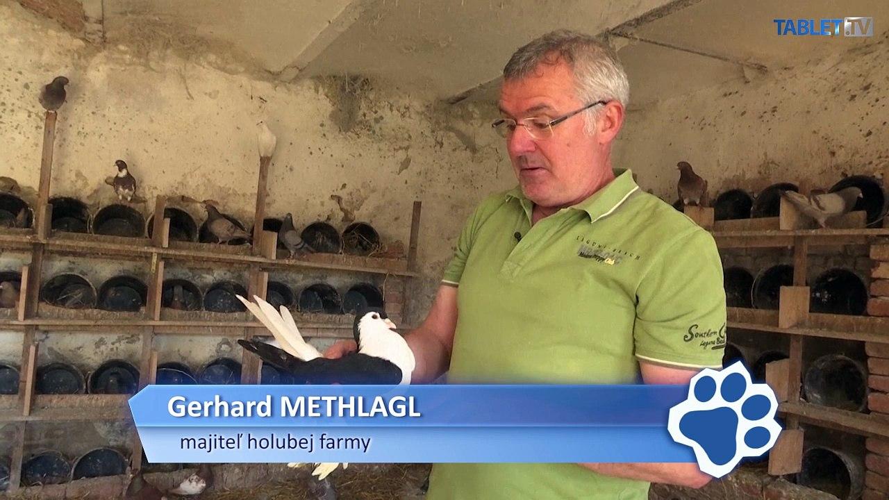 Holuby chované pre reštaurácie žijú na statku v Rakúsku