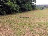 Elle se rue sur un immense serpent pour l'attraper !