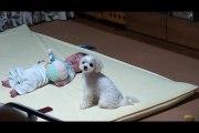 Ce chien crie pour calmer bébé qui pleure hahah combat de cris