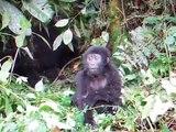 Un bébé gorille se frappe la poitrine et ne fait peur à personne...