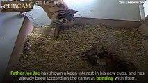 Une caméra filme la naissance de deux bébés tigres au zoo de Londres