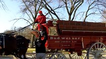 Budweiser Clydesdales - Bringing the dog down 11/27/10