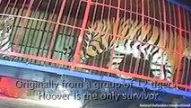 Il a passé sa vie enfermé dans une cage au cirque, admirez sa réaction quand il retrouve la liberté!