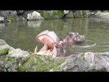 Tourists Play Real-Life Game of 'Hungry Hippos'