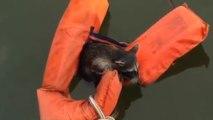 Ils lancent un gilet de sauvetage a un raton laveur qui est en train de se noyer