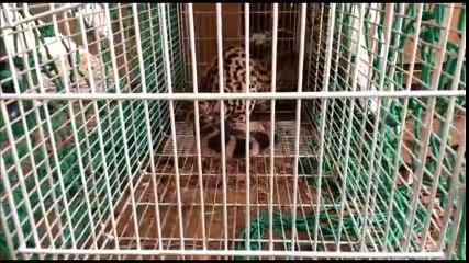 Polícia captura e devolve jaguatirica ao seu habitat