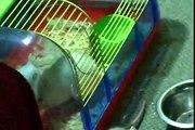 bébé rat jour 28