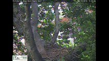 Pittsburgh Hays eaglet H5 fledges on 6-10-2016 @ 19:38.13