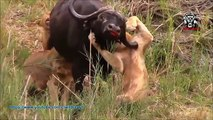 Mira los ataques más impactantes de animales salvajes